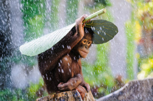 Orangutan in The Rain (c) Andrew Suryono, Indonesia, Entry, Nature and Wildlife Category, Open Competition, 2015 Sony World Photography Awards